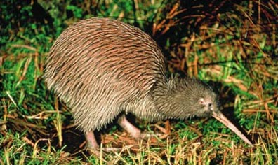 »Der Kiwi - Neuseelands Wappentier«