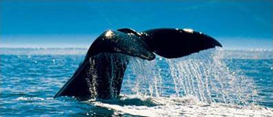 »Reisebaustein Neuseeland: Kaikoura - den Walen ganz nah«
