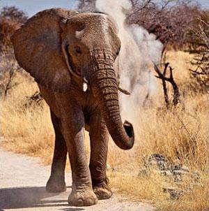 »Elefant im Etosha Nationalpark Namibia«