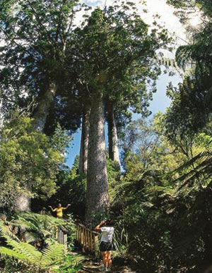 » Kauri-Baum New Zealand - off the beaten track «