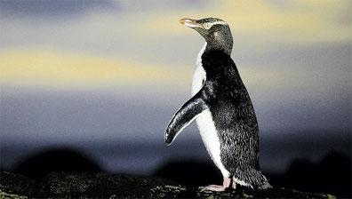 »Gelbaugen-Pinguin - Rundreise Naturwunder Neuseelands«