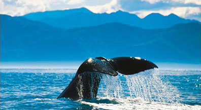 »Optionale Walbeobachtung in Kaikoura - Rundreise Neuseeland«