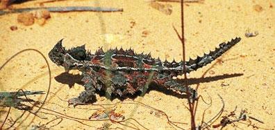 »Thorny Devil - Campingtour Opale & Outback Australien«