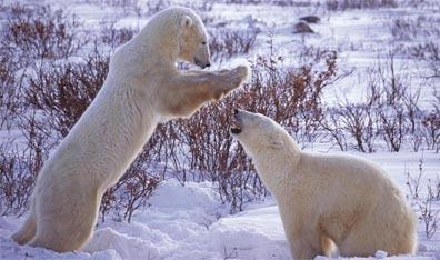»Zu den Eisbären im Norden Kanadas im Oktober / November«