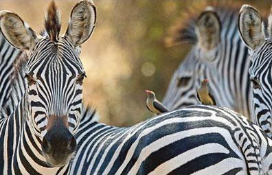 »Zebras im Krüger Nationalpark - Südafrika Highlights Reise«