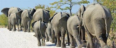 »Botswana & Caprivi: Elefantenherde im Moremi Wildreservat«