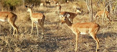 »Botswana & Caprivi Safari: Impala Antilopen«