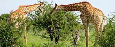 »Rundreise Namib entspannt - Giraffen in der Buschsavanne«
