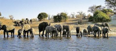 »Elefanten im Chobe Nationalpark - Spuren David Livingstone«