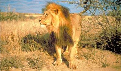 »Südafrika Rundreise - Löwe im Krüger-Nationalpark«
