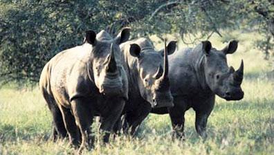 »Südafrika Breitmaul-Nashörner (White Rhino)«