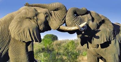 »Beeindruckendes Südafrika: Elefanten im Krüger-Nationalpark«