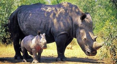 »Reise zu den Nashörnern im Hluhluwe-Umfolozi Wildreservat«
