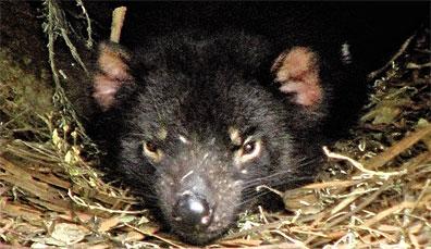 »Tasmanischer Teufel - Reise Tasmania Grand Circle«