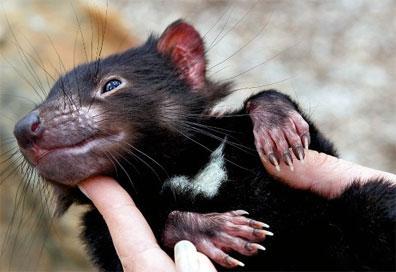 »Junger Tasmanischer Teufel - Reise nach Tasmanien«