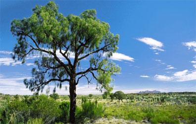 »Desert Oaks bei Kata Tjuta - Territory Discovery Australien«
