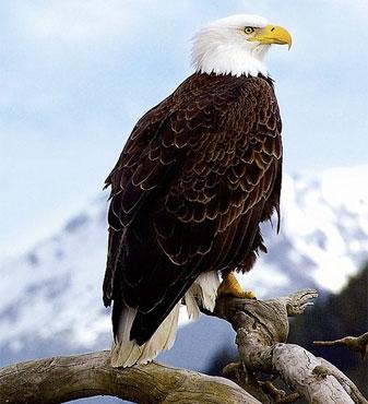 »Alaska für Genießer: der majestätische Weißkopfseeadler«