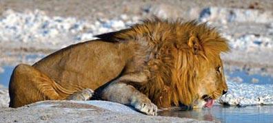 »Traumreise Namibia - Löwe im Etosha Nationalpark«