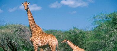 »Entdeckungsreise Namibia: Giraffen im Etoscha-Nationalpark«
