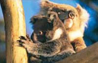»Zu Gast bei Kiwis und Koalas - Reise Australien & Neuseeland«