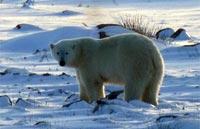 »Eisbären an der Hudson Bay - exklusive Kanada Tour«