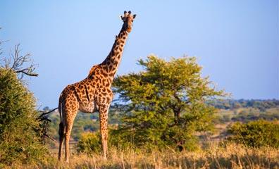 »Namibia Rundreise: Giraffen im Etosha Nationalpark«