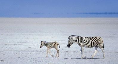 »Traumreise Namibia: Zebras auf der Wanderschaft«
