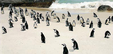 » Reise Südafrika Highlights - Pinguine bei Simon's Town «